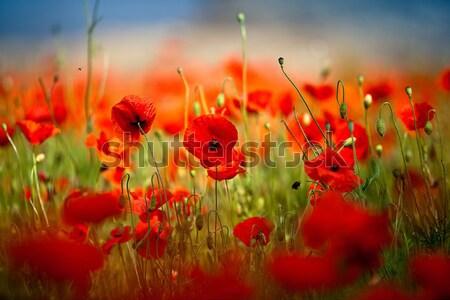 Kırmızı mısır haşhaş çiçekler alan gökyüzü Stok fotoğraf © nailiaschwarz
