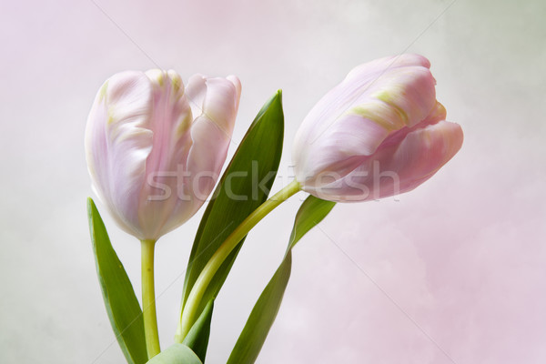 Pink Tulips Stock photo © nailiaschwarz