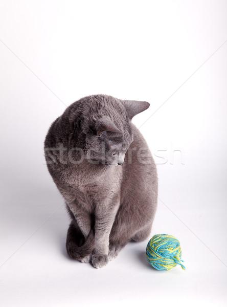 Grey cat contemplating a ball of wool Stock photo © nailiaschwarz