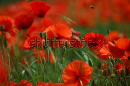 Vermelho papoula flores prado belo brilhante Foto stock © nailiaschwarz