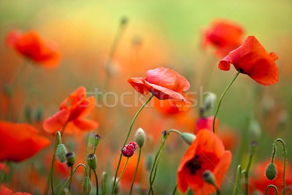 Сток-фото: красный · кукурузы · мак · цветы · области · небе