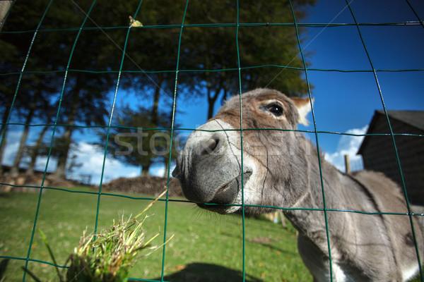 Small grey Donkey Stock photo © nailiaschwarz
