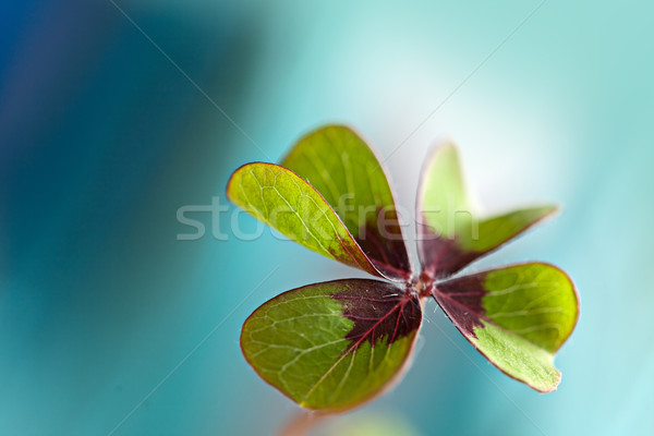 Four leaved Clover Stock photo © nailiaschwarz