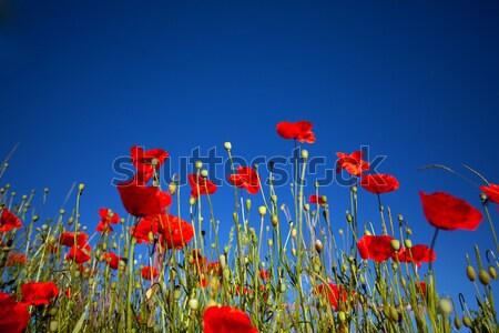 Corn Poppy Flowers Papaver rhoeas Stock photo © nailiaschwarz