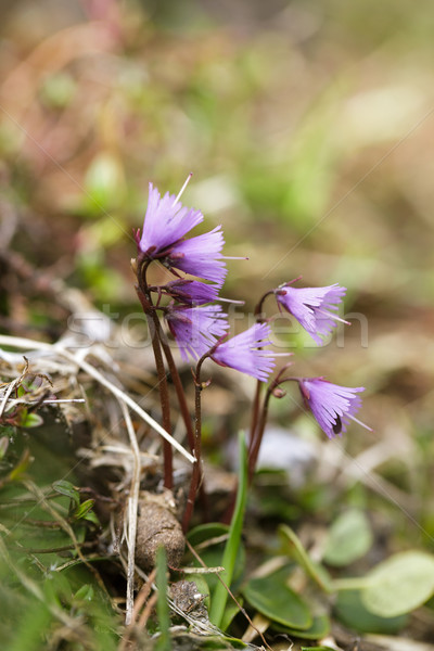Alpine çayır otlar çiçekler yaz çim Stok fotoğraf © nailiaschwarz