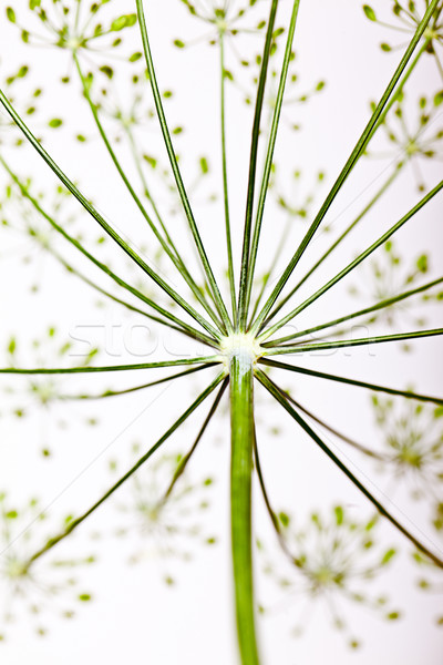 Fragile Dill umbels Stock photo © nailiaschwarz
