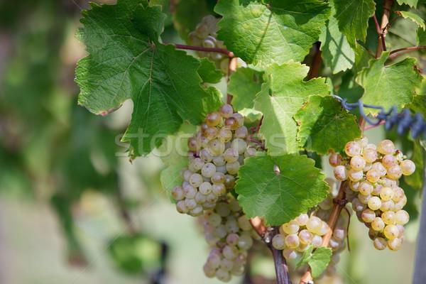 érett szőlő fehér szőlőskert késő nyár Stock fotó © nailiaschwarz