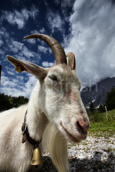 Adult White Goat Stock photo © nailiaschwarz