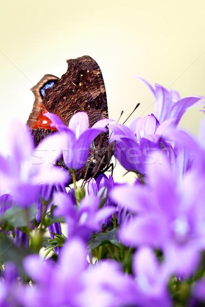 Europen Peacock and Bellflowers Stock photo © nailiaschwarz
