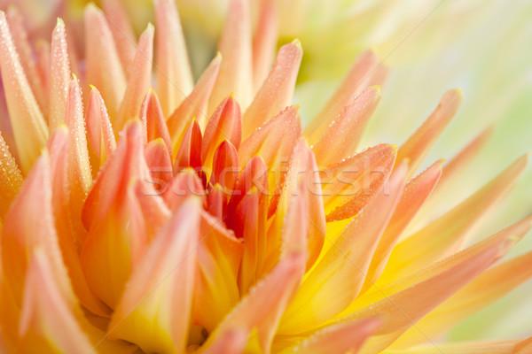 Dahlia bloem dauw druppels macro Stockfoto © nailiaschwarz
