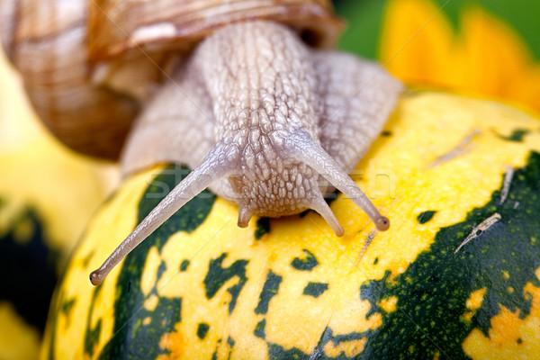カタツムリ 秋 画像 ヨーロッパの カボチャ ストックフォト © nailiaschwarz