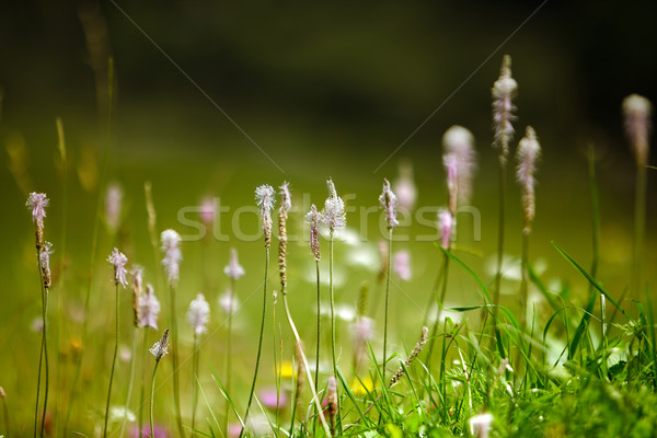 Alpino prado ervas plantas verão grama Foto stock © nailiaschwarz