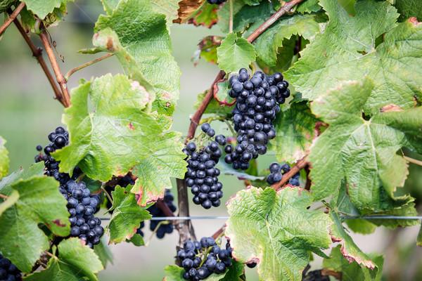 Olgun üzüm bağ geç yaz Stok fotoğraf © nailiaschwarz