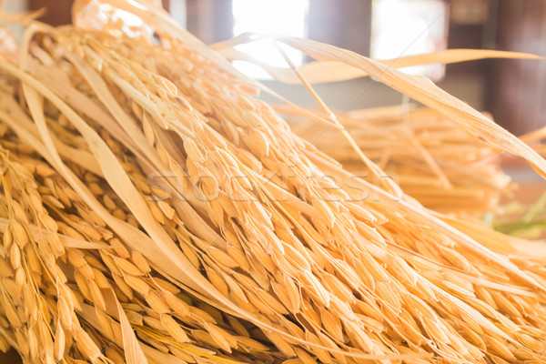 Paddy jasmine rice plant in detail Stock photo © nalinratphi