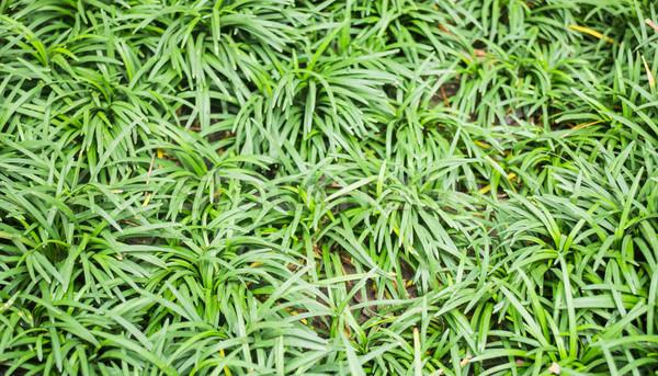 Zöld trópusi növény kert stock fotó Stock fotó © nalinratphi