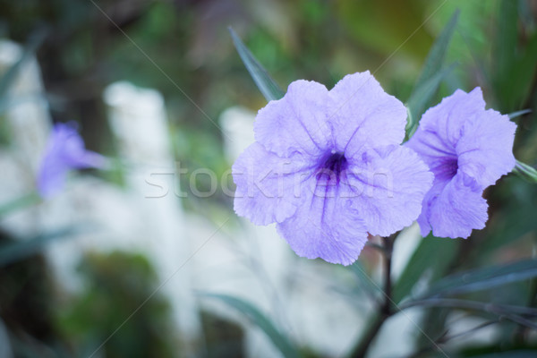 Violet flower bloom in the garden Stock photo © nalinratphi