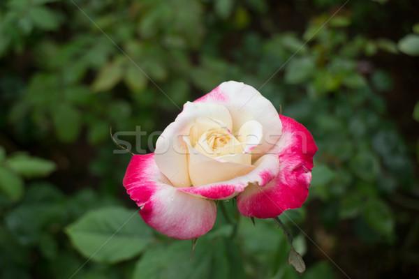 Citromsárga rózsa piros tippek kert stock Stock fotó © nalinratphi