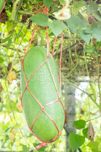 Fresche verde inverno melone albero stock Foto d'archivio © nalinratphi