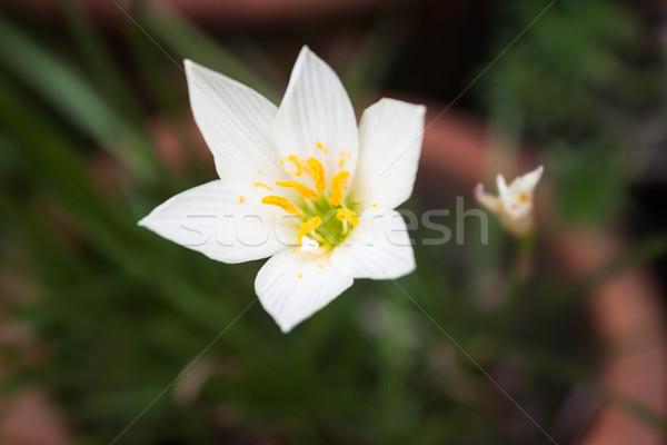 Blanco flor silvestre flor verde primavera hierba Foto stock © nalinratphi