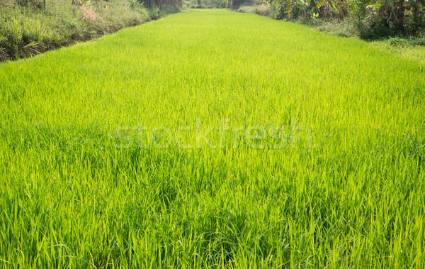 田 緑の草 太陽 在庫 写真 ストックフォト © nalinratphi
