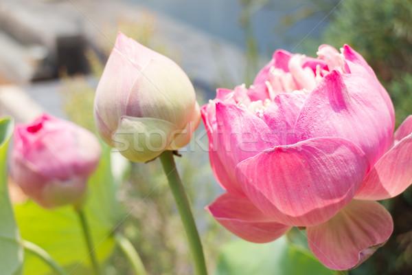 Lotus flowers or waterlily with sunlight Stock photo © nalinratphi