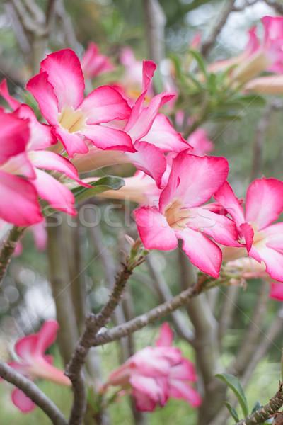 Hermosa rosa azalea flores planta stock Foto stock © nalinratphi