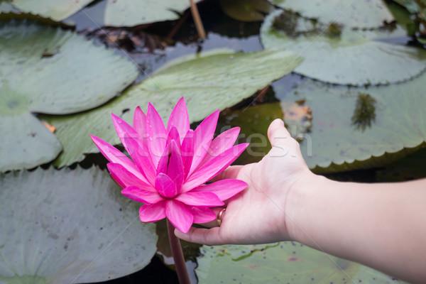 Hnad on pink lotus flower in the lake Stock photo © nalinratphi
