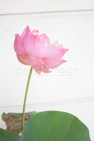 Pink lotus flower blossom on white background Stock photo © nalinratphi