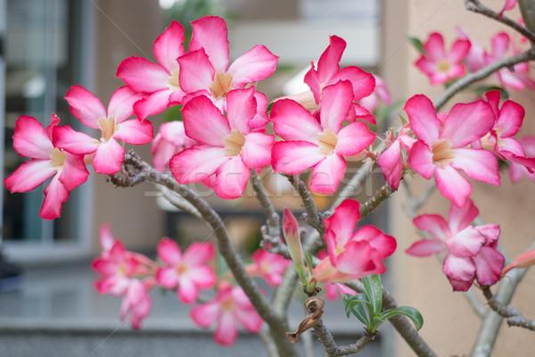Beautiful pink azalea flowers plant Stock photo © nalinratphi