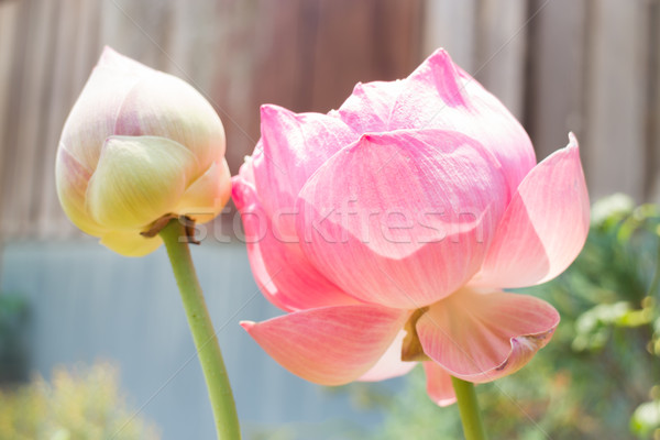 Lotus flowers or waterlily with sunlight Stock photo © nalinratphi