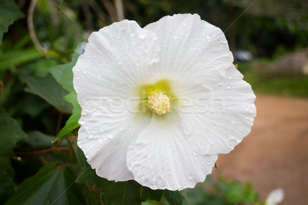 Bianco hibiscus scarpa fiore stock foto Foto d'archivio © nalinratphi