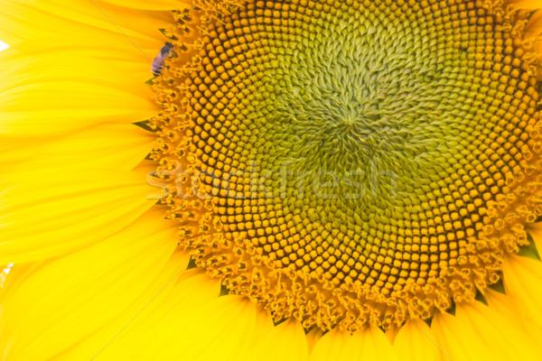 Mooie zonnebloem stuifmeel omhoog sluiten voorraad Stockfoto © nalinratphi