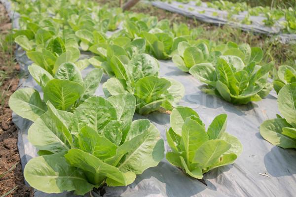 Organic vegetable growing in farm Stock photo © nalinratphi