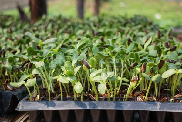 Organikus zöld fiatal napraforgó stock fotó Stock fotó © nalinratphi