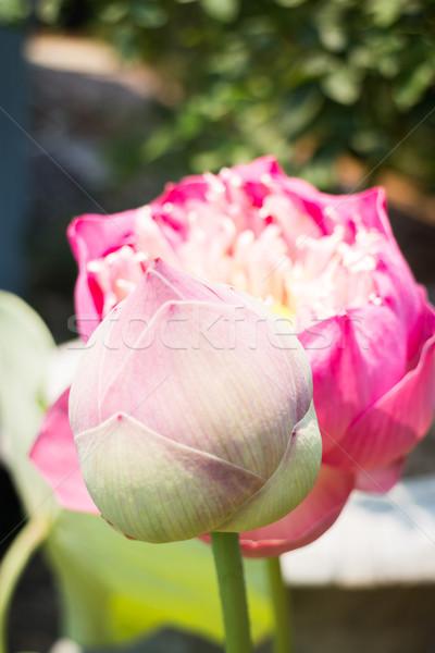 Güneş ışığı stok fotoğraf çiçek güneş Stok fotoğraf © nalinratphi