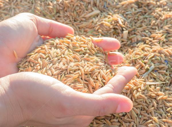 Kezek rizs naplemente stock fotó természet Stock fotó © nalinratphi