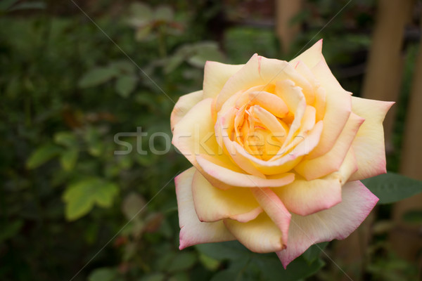 Yellow roses bush in the garden Stock photo © nalinratphi