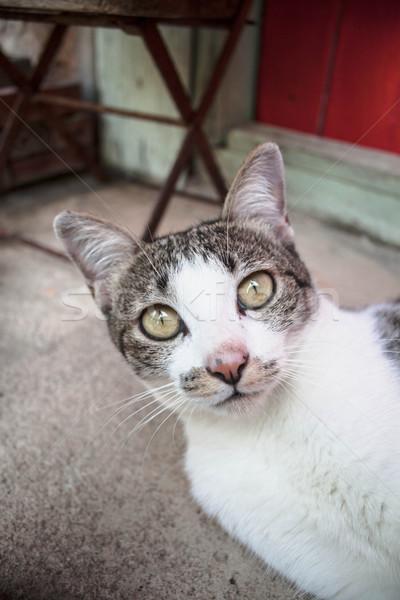 Fiatal sziámi macska néz kamera Stock fotó © nalinratphi