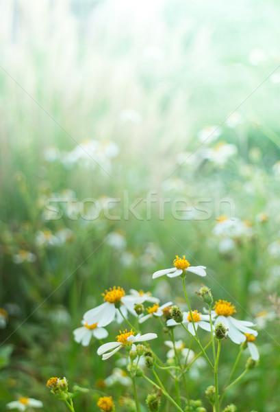 Siluet çiçek bıçak çim alanı güneş ışığı Stok fotoğraf © nalinratphi