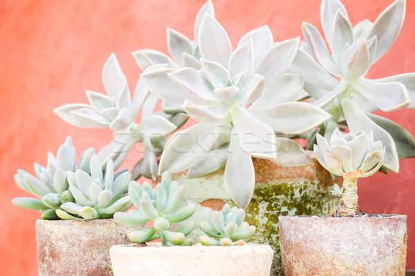Kaktus roślin minimalny ogród czas Fotografia Zdjęcia stock © nalinratphi