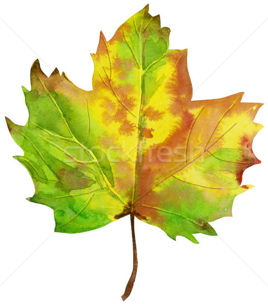 Watercolor painted orange maple leaves fall on white background Stock photo © Natalia_1947