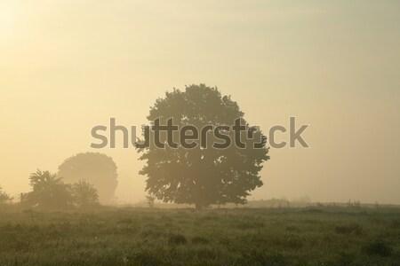 Chêne misty matin début automne herbe Photo stock © nature78