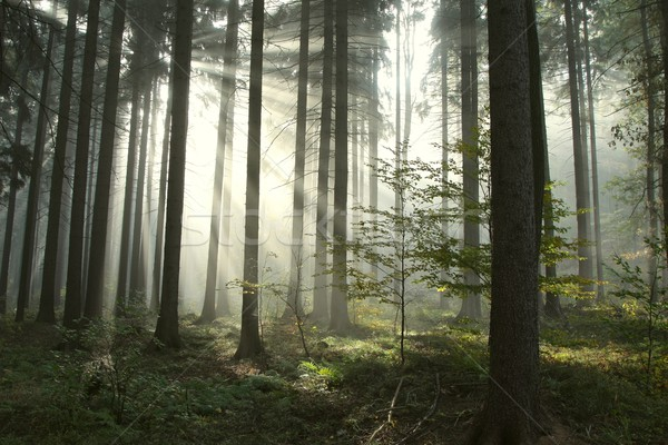 Coniferous forest at dawn Stock photo © nature78