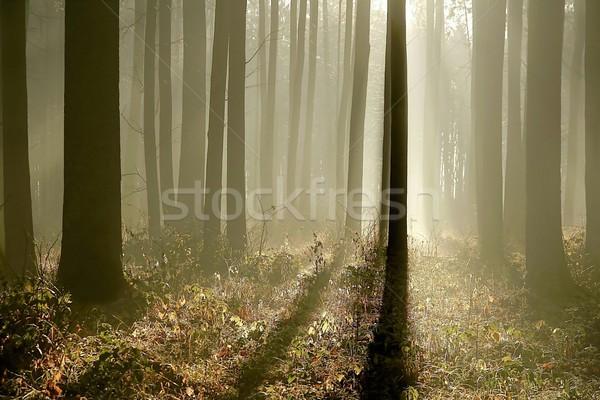 Tarde otono forestales amanecer luz del sol brumoso Foto stock © nature78
