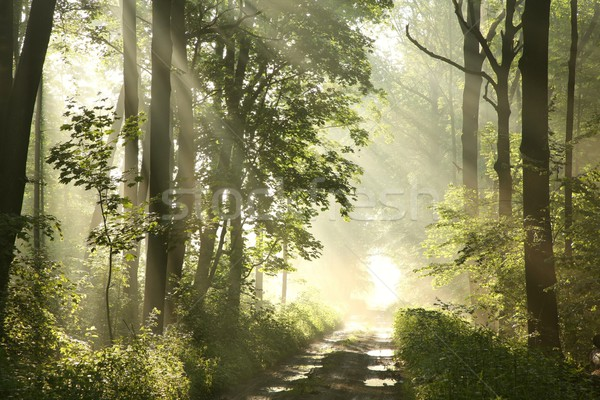 Path in spring forest at dawn Stock photo © nature78