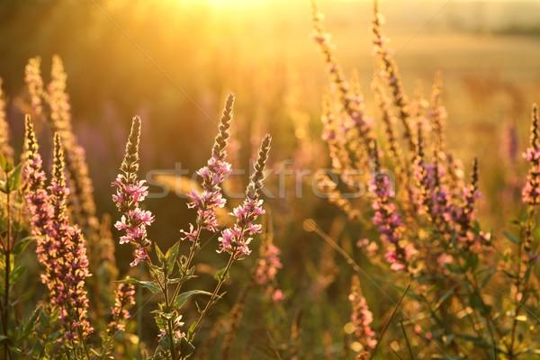 Lila természet levél kert nyár mezőgazdaság Stock fotó © nature78