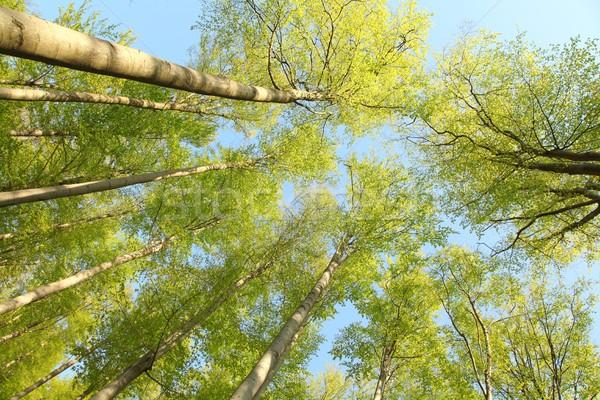 Tree canopy Stock photo © nature78