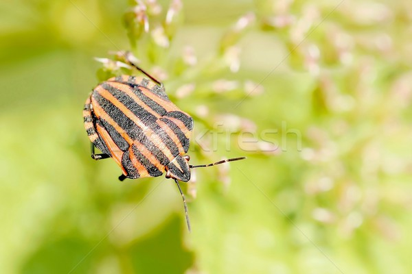 Bedbug Stock photo © nature78