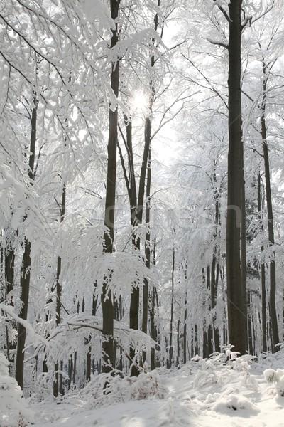 Сток-фото: лес · морозный · зима · день · Солнечный · утра