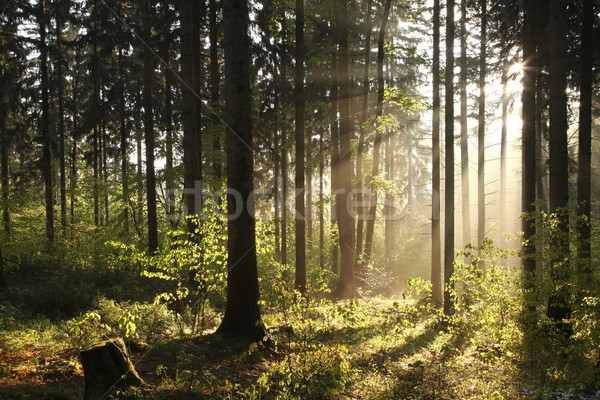 Stock photo: Coniferous forest on foggy morning